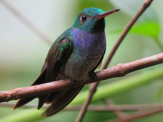 - Blue-chested Hummingbird