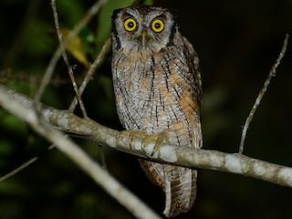 - Tropical Screech-Owl