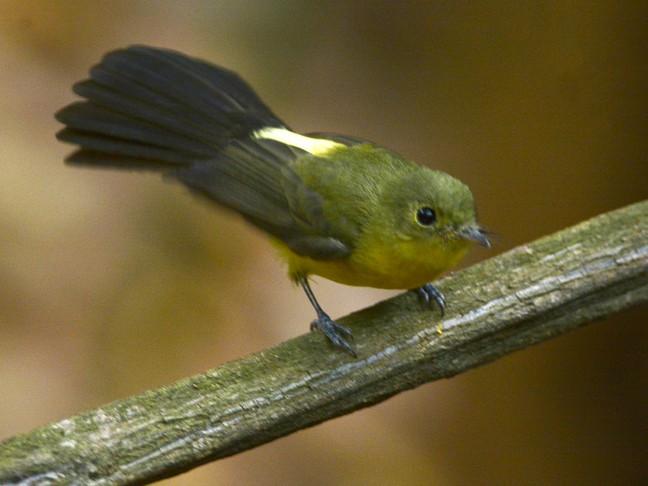 Black-tailed Flycatcher - Luiz Moschini