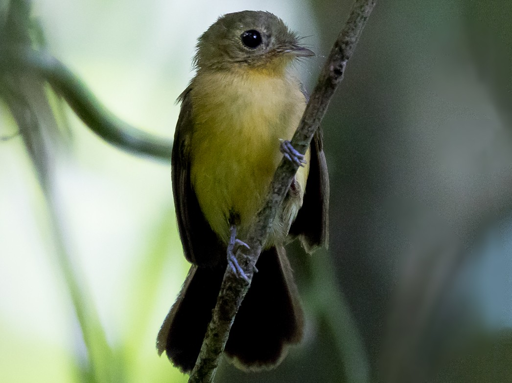 Black-tailed Flycatcher - Silvia Faustino Linhares
