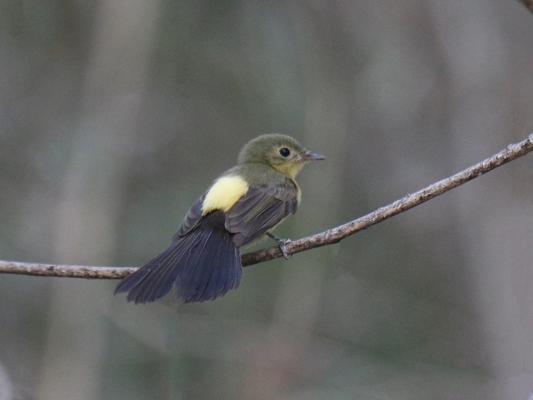 Black-tailed Flycatcher - Thompson Ian