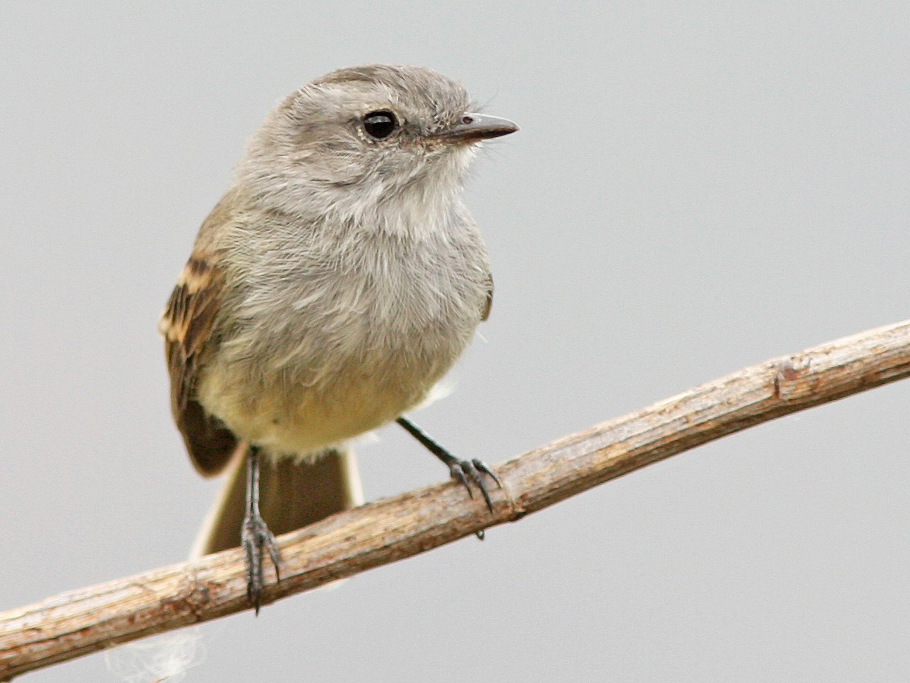 Mouse-colored Tyrannulet - David Beadle