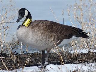 Canada Goose, ML50667801