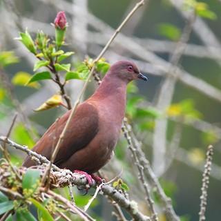 Ruddy Pigeon, ML50687151