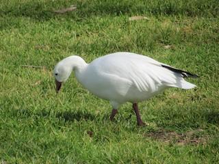Snow Goose, ML50706051