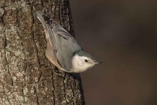 White-breasted Nuthatch (Pacific)