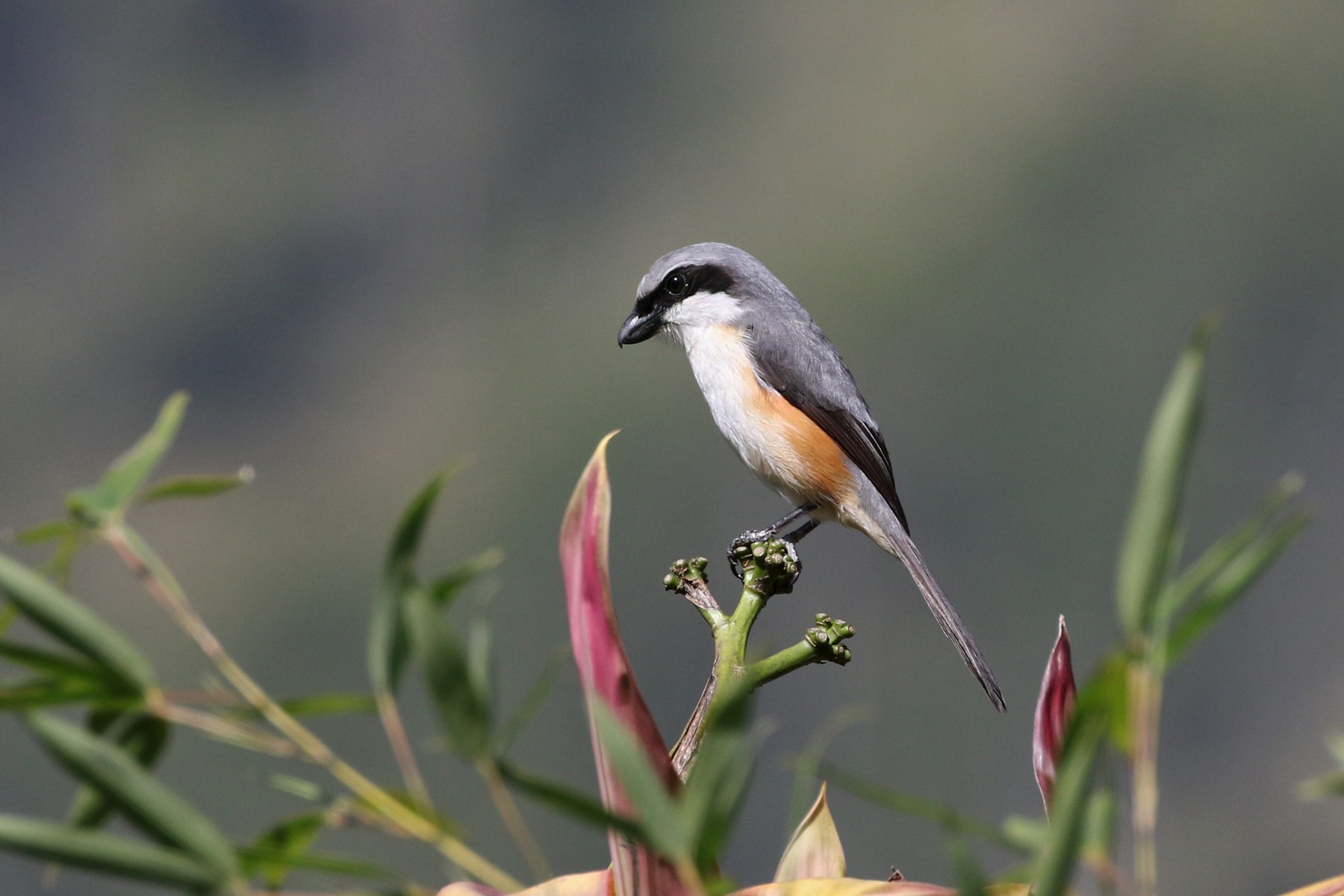 Gray-capped Shrike - Charley Hesse TROPICAL BIRDING
