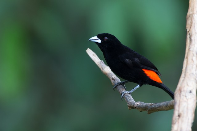 Flame-rumped Tanager (Flame-rumped)