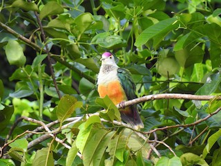 - Palau Fruit-Dove