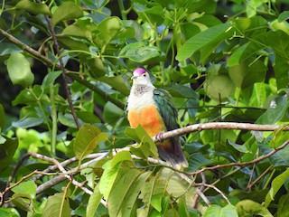 - Palau Fruit-Dove