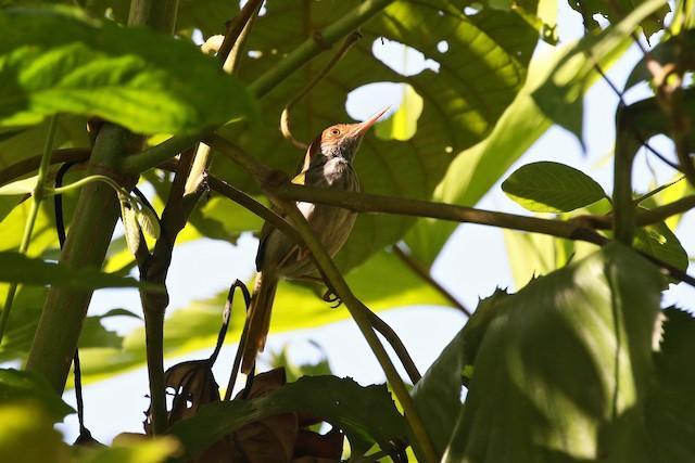 Green-backed Tailorbird
