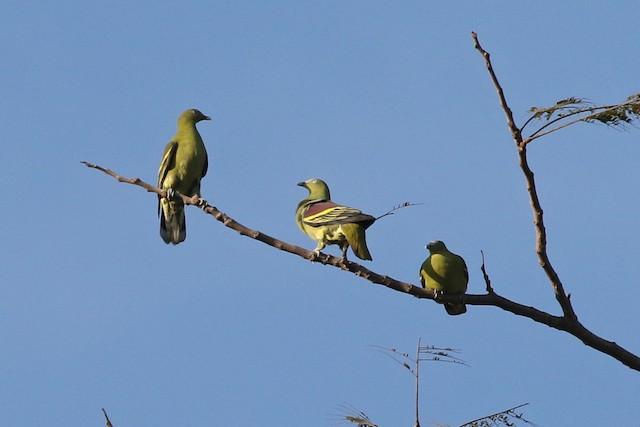 Philippine Green-Pigeon