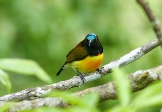 - Maroon-naped Sunbird