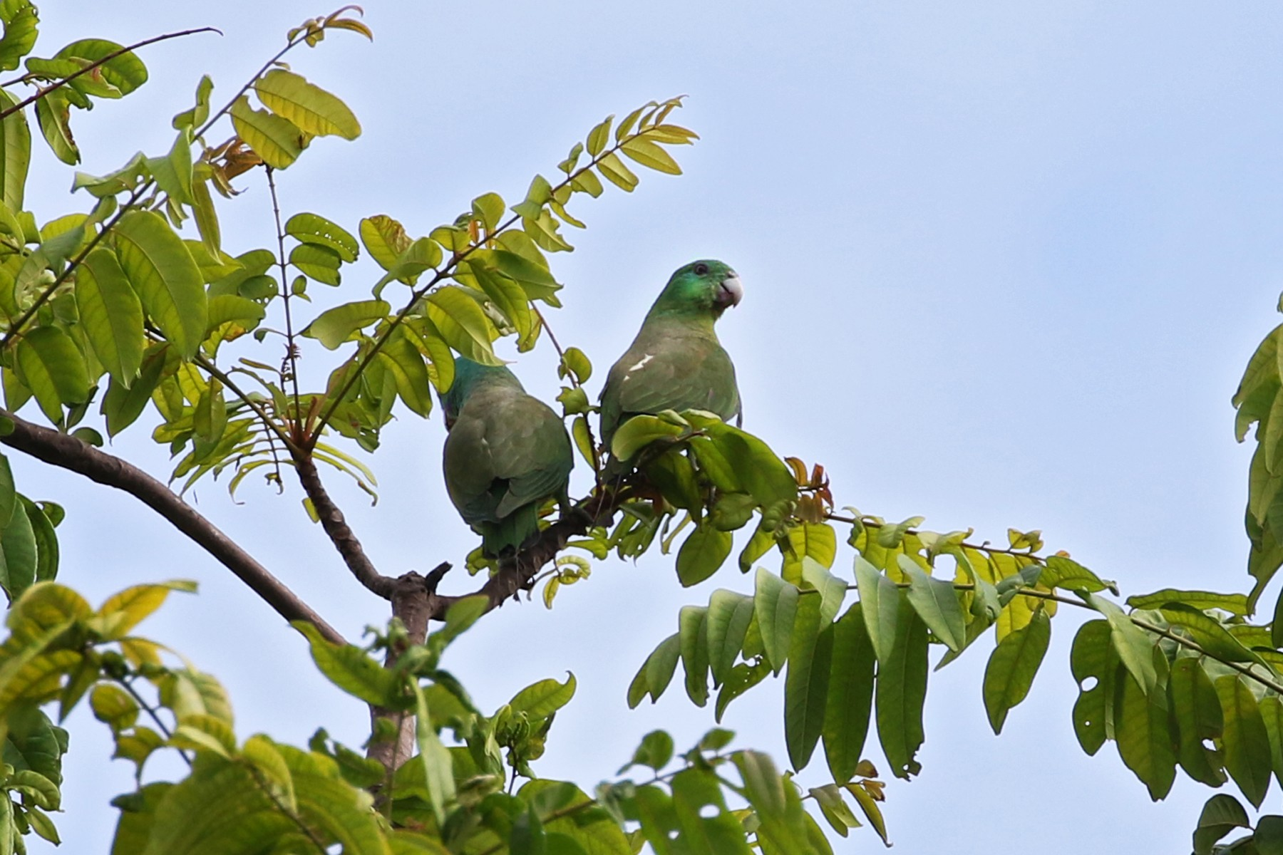 Blue-headed Racquet-tail - Charley Hesse