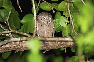 - Mantanani Scops-Owl