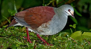 - Buff-fronted Quail-Dove