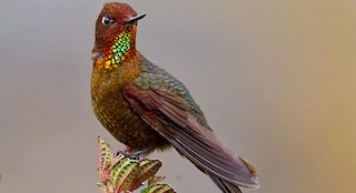 - Coppery Metaltail