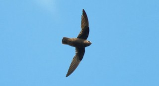 - Great Dusky Swift
