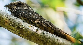 - Greater Antillean Nightjar