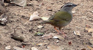 - Green-backed Sparrow