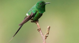 - Green Thorntail
