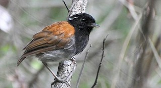 - Hooded Gnateater
