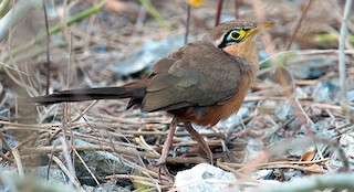 - Lesser Ground-Cuckoo