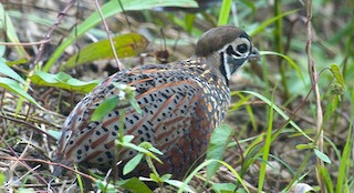 - Ocellated Quail