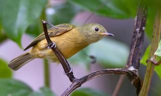 - Ochre-bellied Flycatcher