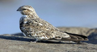 - Sand-colored Nighthawk