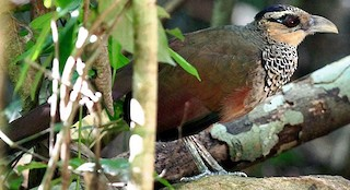 - Scaled Ground-Cuckoo