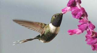 - Sparkling-tailed Hummingbird