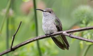 - Spot-throated Hummingbird