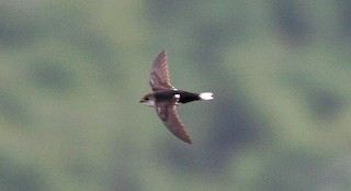 - White-tipped Swift