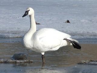 Trumpeter Swan, ML51075451