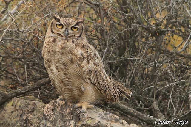 Great Horned Owl (Magellanic)