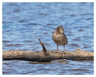 Freckled Duck, ML51112841