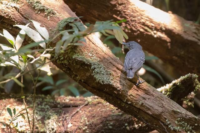 Black-chinned Antbird