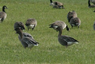 Pink-footed Goose, ML51223951