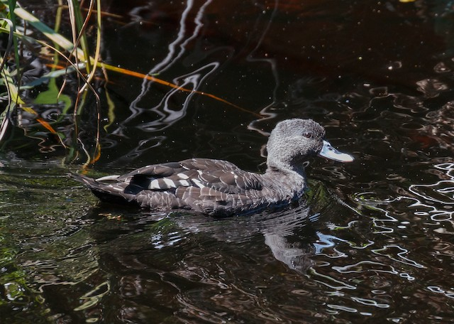 African Black Duck