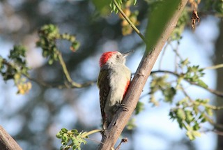 - Mountain Gray Woodpecker