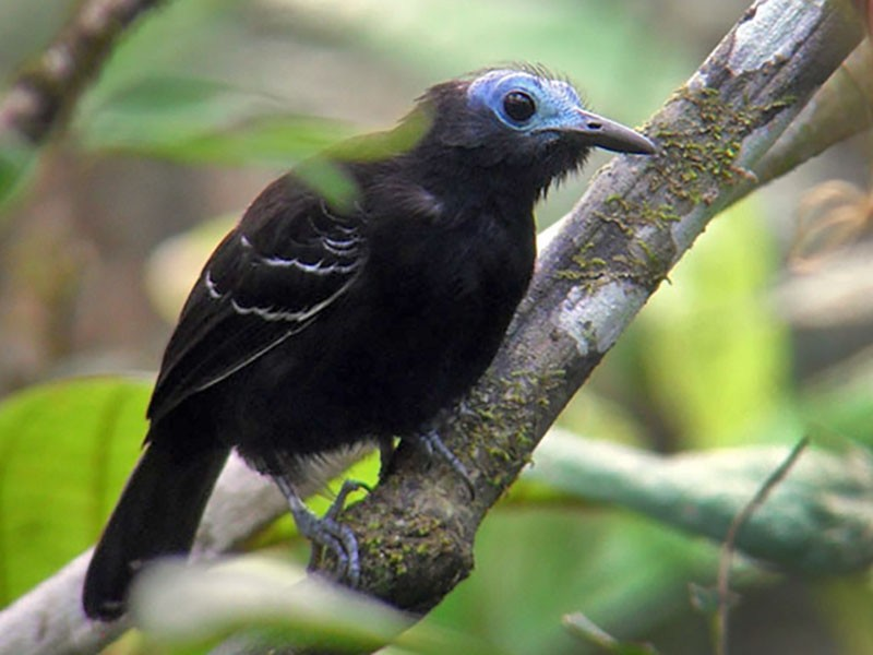 Bare-crowned Antbird - Euclides