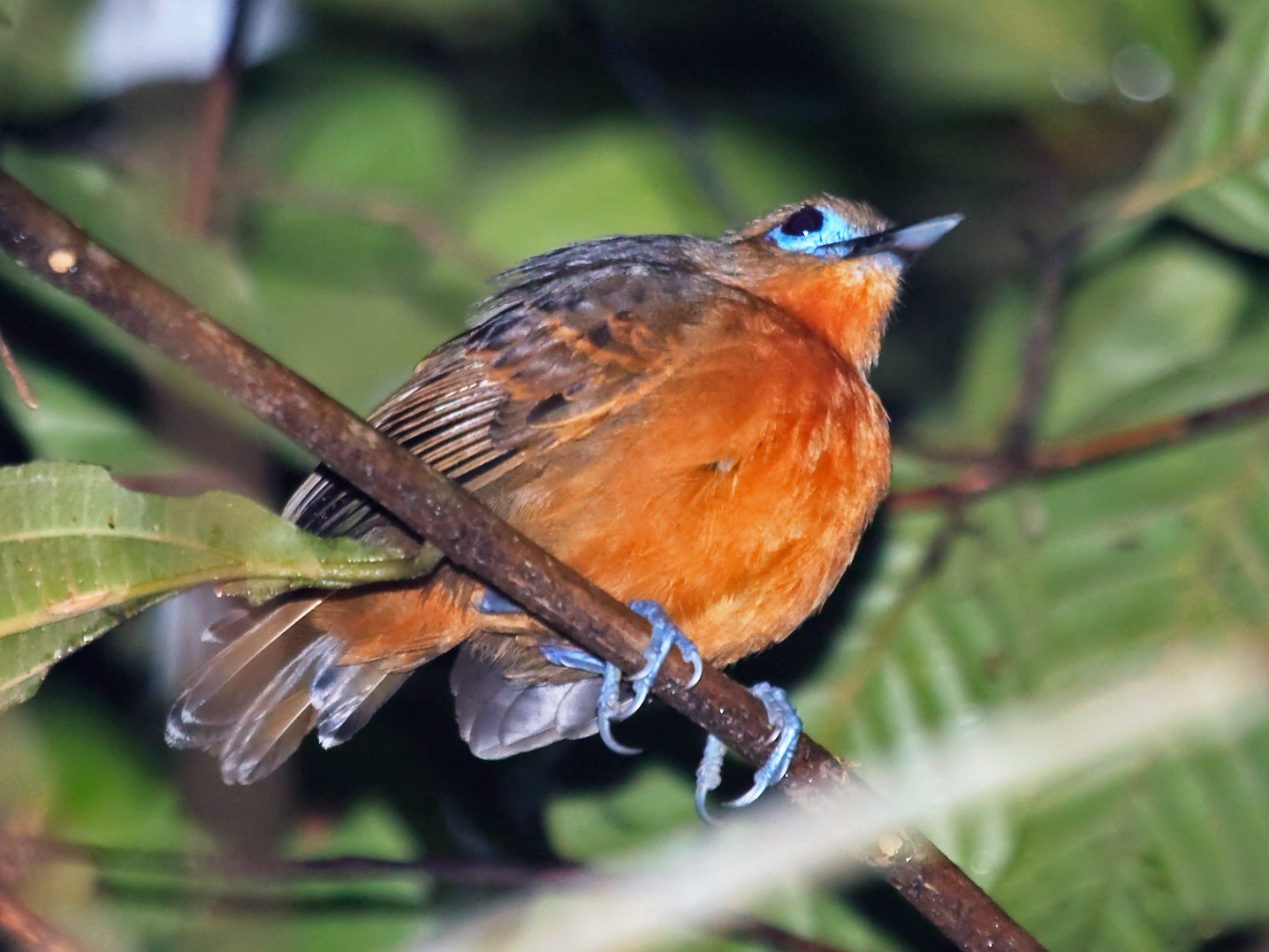 Bare-crowned Antbird - Nigel Voaden