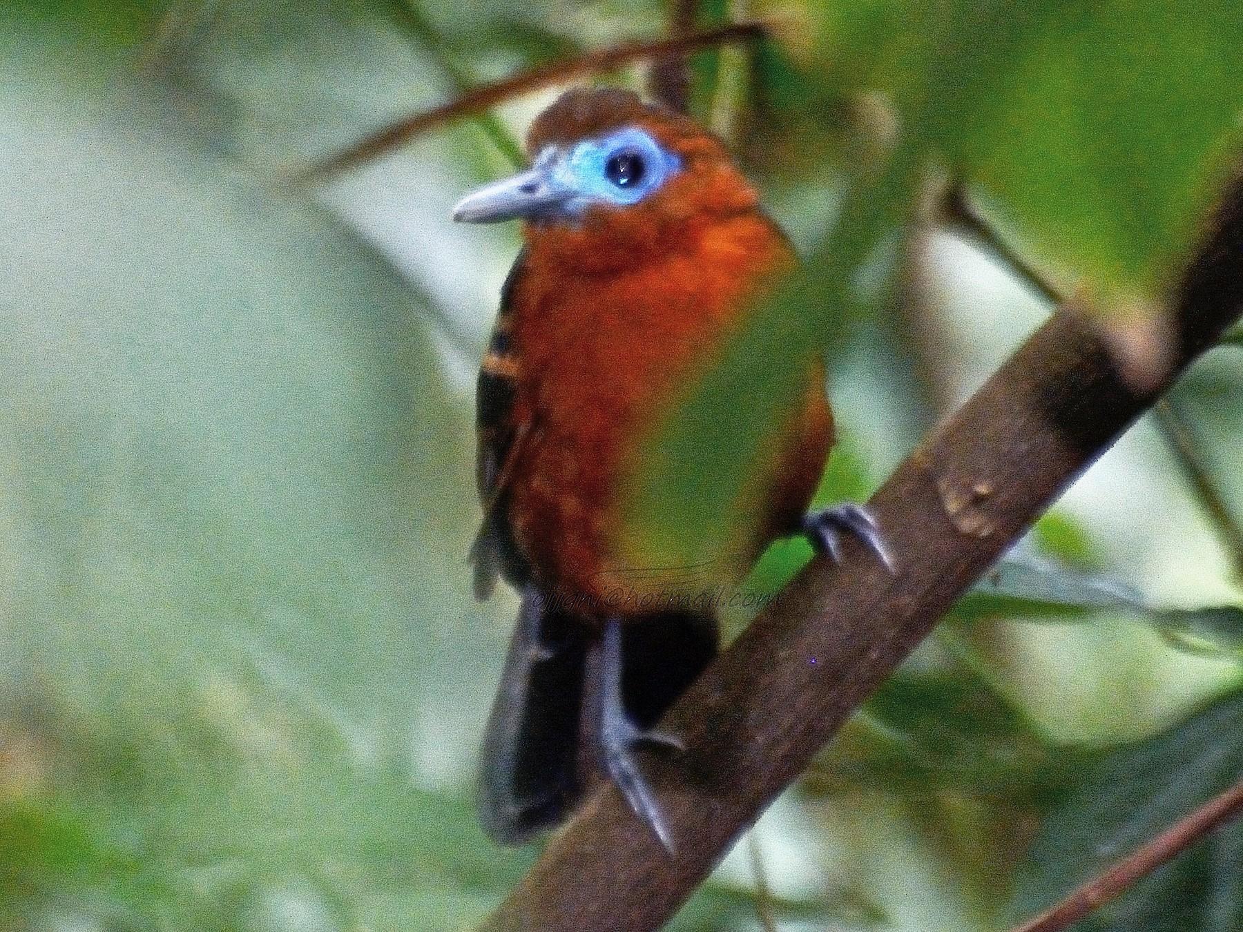 Bare-crowned Antbird - Orlando Jarquín
