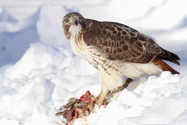 Red-tailed Hawk (borealis)