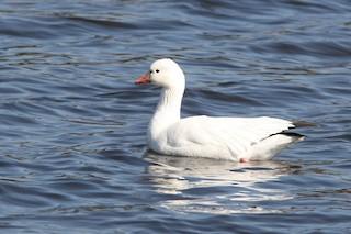 Ross's Goose, ML51364551