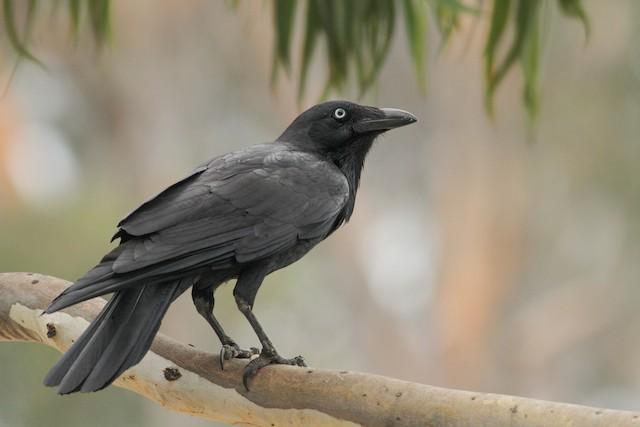 Little Raven ML51412801