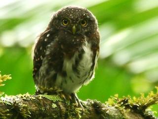 - Costa Rican Pygmy-Owl