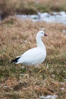 Ross's Goose, ML51508841