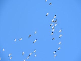 Snow Goose, ML51605401